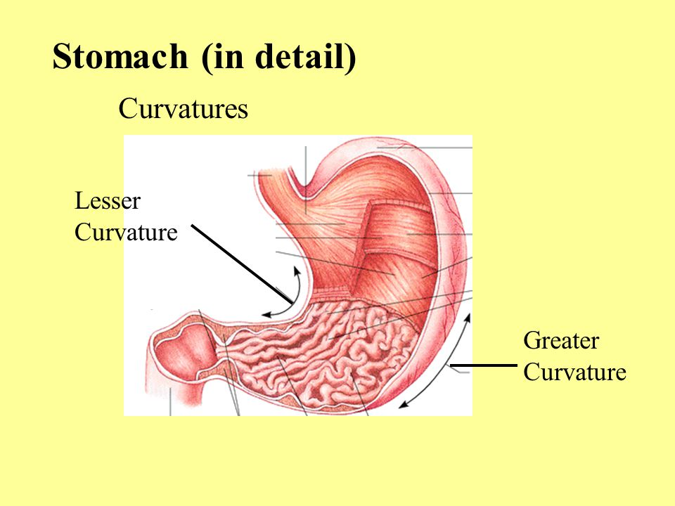 Stomach (in detail) Curvatures Lesser Curvature Greater Curvature