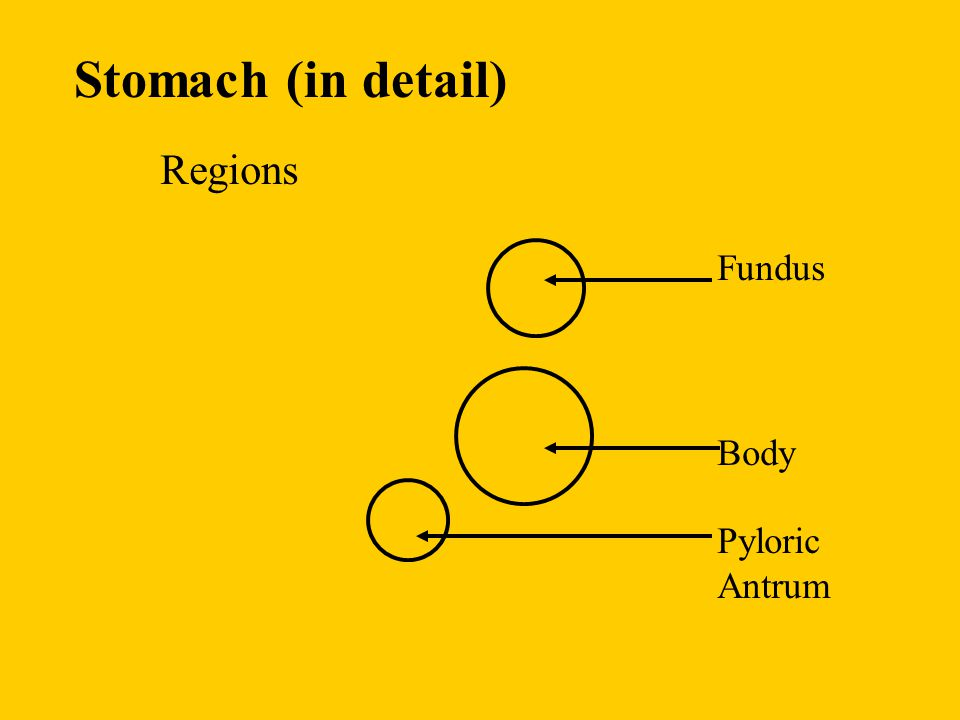 Stomach (in detail) Regions Fundus Body Pyloric Antrum