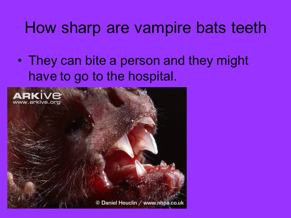 How sharp are vampire bats teeth