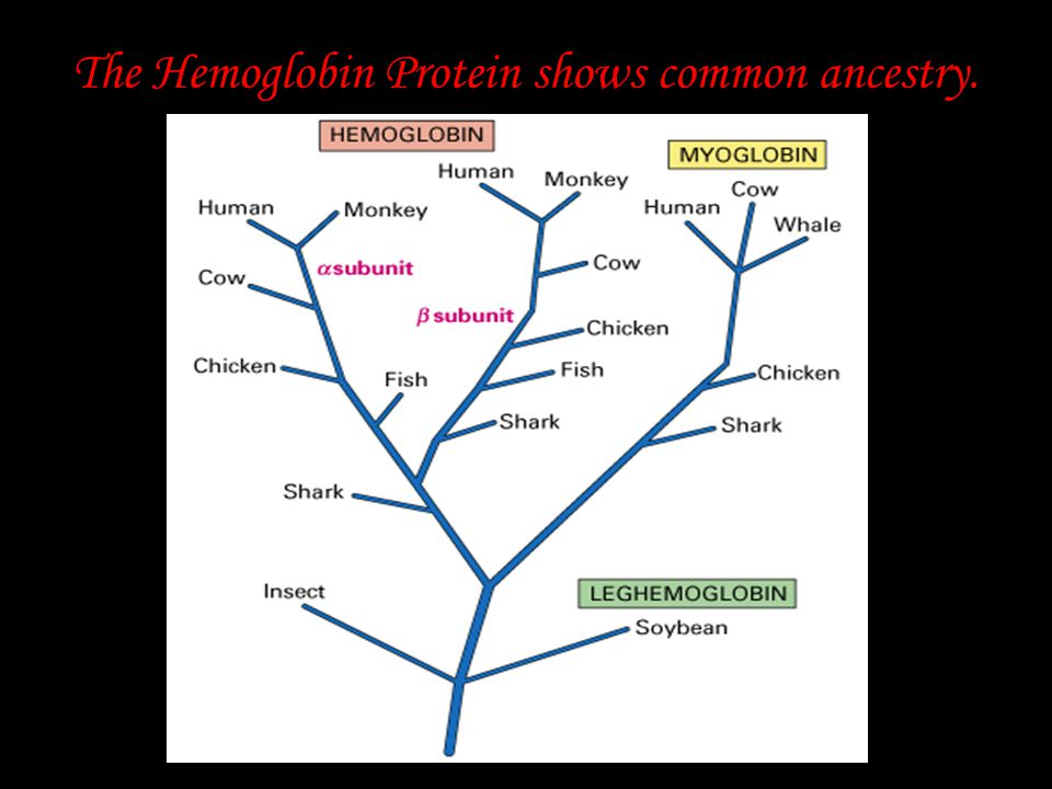 The Hemoglobin Protein shows common ancestry.