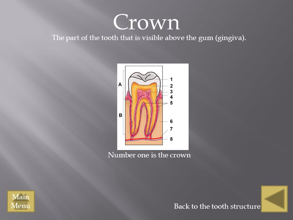 The part of the tooth that is visible above the gum (gingiva).