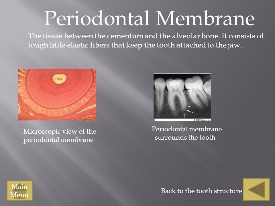 Periodontal Membrane