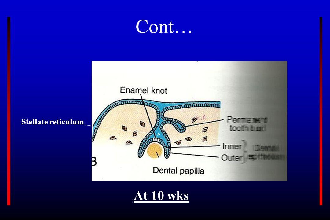 Cont… Stellate reticulum At 10 wks