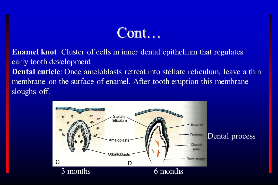Cont… Enamel knot: Cluster of cells in inner dental epithelium that regulates early tooth development.