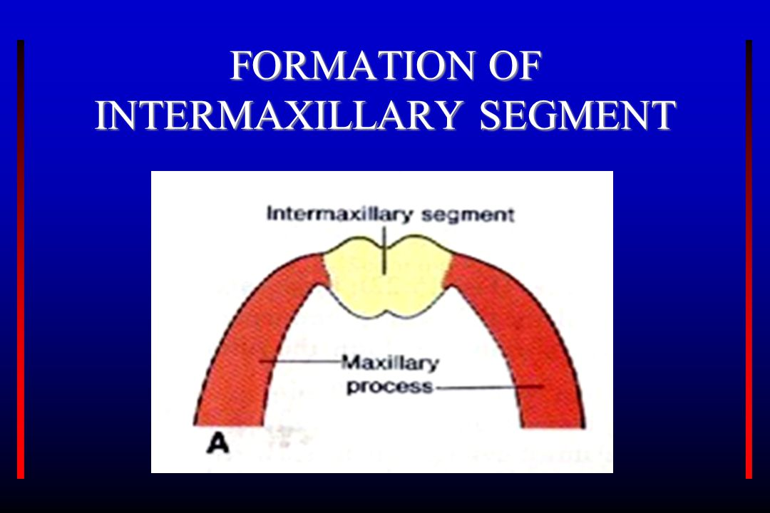 FORMATION OF INTERMAXILLARY SEGMENT