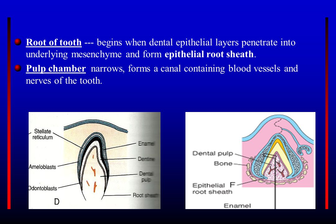 Root of tooth --- begins when dental epithelial layers penetrate into underlying mesenchyme and form epithelial root sheath.