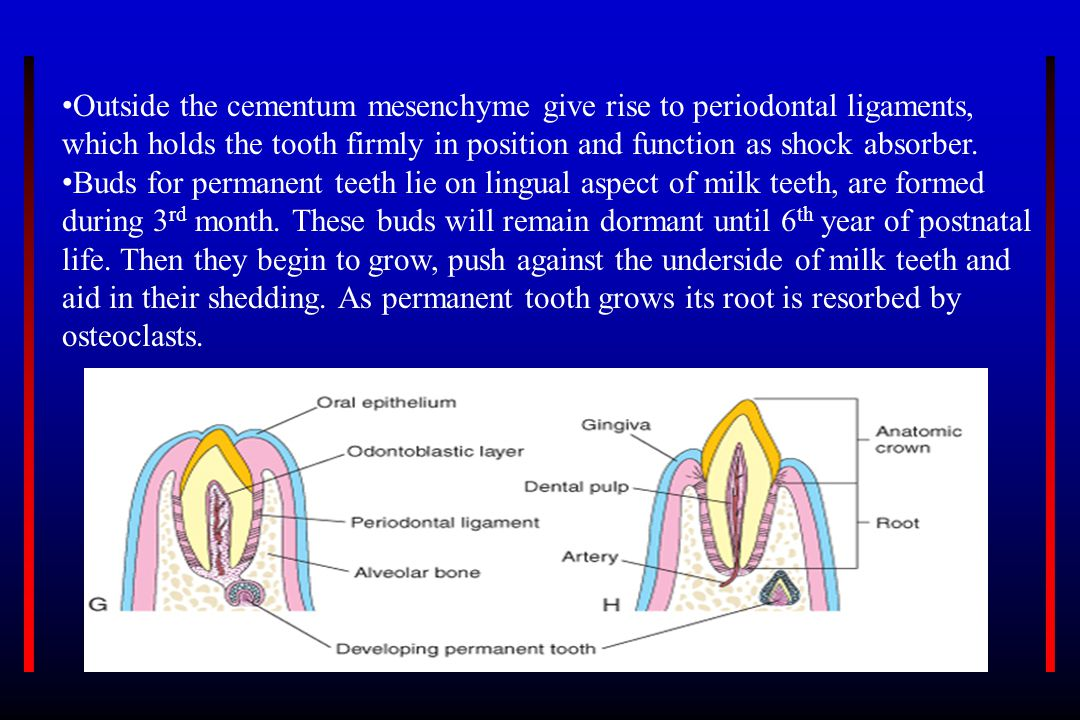 Outside the cementum mesenchyme give rise to periodontal ligaments,