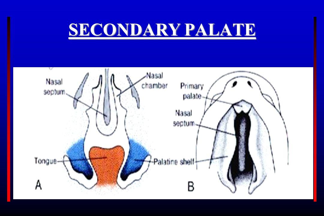 SECONDARY PALATE