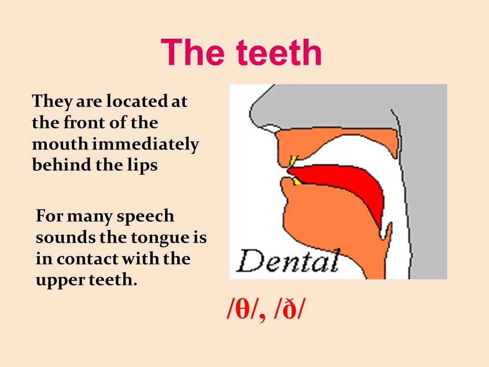 The teeth They are located at the front of the mouth immediately behind the lips.