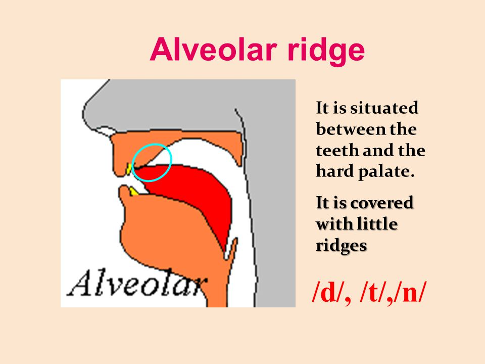Alveolar ridge /d/, /t/,/n/