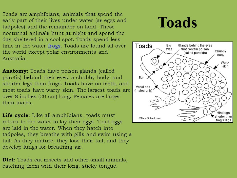 Toads are amphibians, animals that spend the early part of their lives under water (as eggs and tadpoles) and the remainder on land. These nocturnal animals hunt at night and spend the day sheltered in a cool spot. Toads spend less time in the water frogs. Toads are found all over the world except polar environments and Australia. Anatomy: Toads have poison glands (called parotis) behind their eyes, a chubby body, and shorter legs than frogs. Toads have no teeth, and most toads have warty skin. The largest toads are over 8 inches (20 cm) long. Females are larger than males. Life cycle: Like all amphibians, toads must return to the water to lay their eggs. Toad eggs are laid in the water. When they hatch into tadpoles, they breathe with gills and swim using a tail. As they mature, they lose their tail, and they develop lungs for breathing air. Diet: Toads eat insects and other small animals, catching them with their long, sticky tongue.