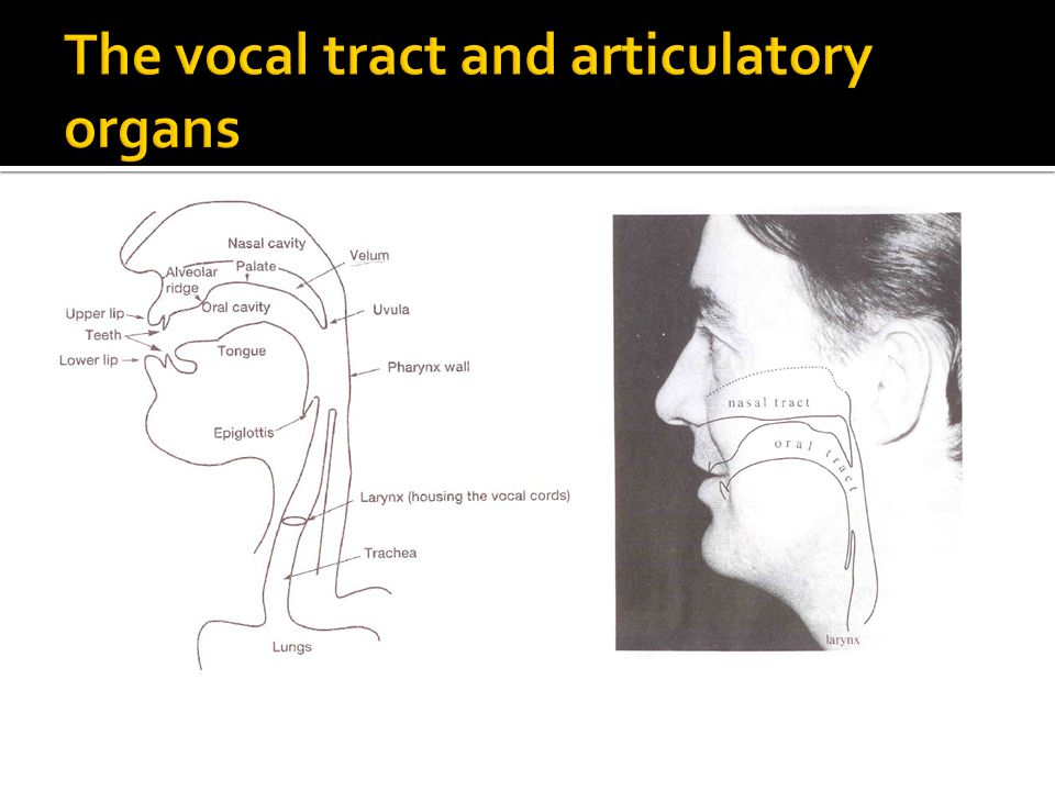 The vocal tract and articulatory organs