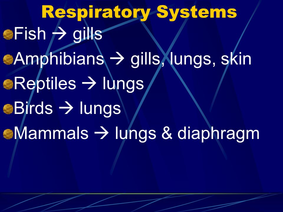 Respiratory Systems Fish  gills. Amphibians  gills, lungs, skin. Reptiles  lungs. Birds  lungs.