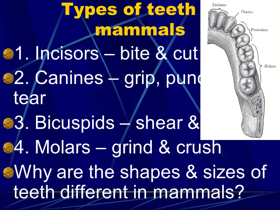 Types of teeth in mammals