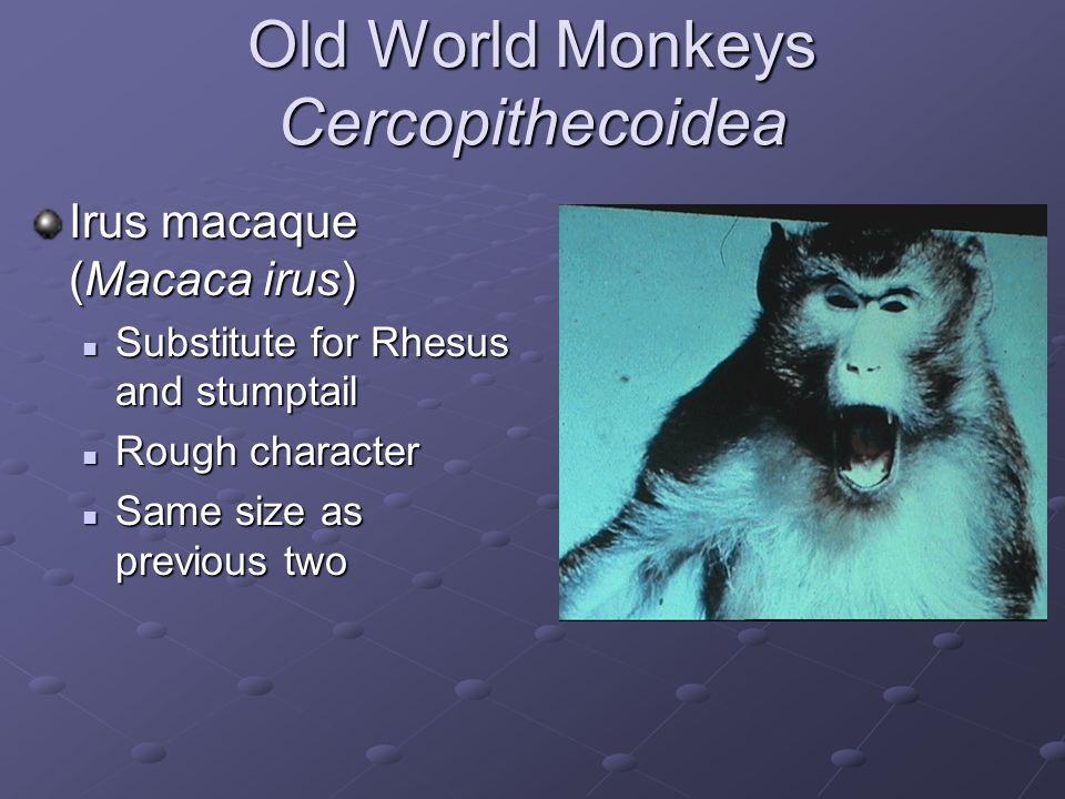 Old World Monkeys Cercopithecoidea