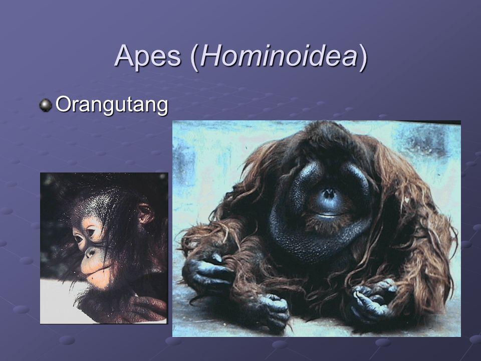 Apes (Hominoidea) Orangutang