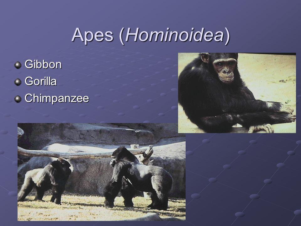 Apes (Hominoidea) Gibbon Gorilla Chimpanzee