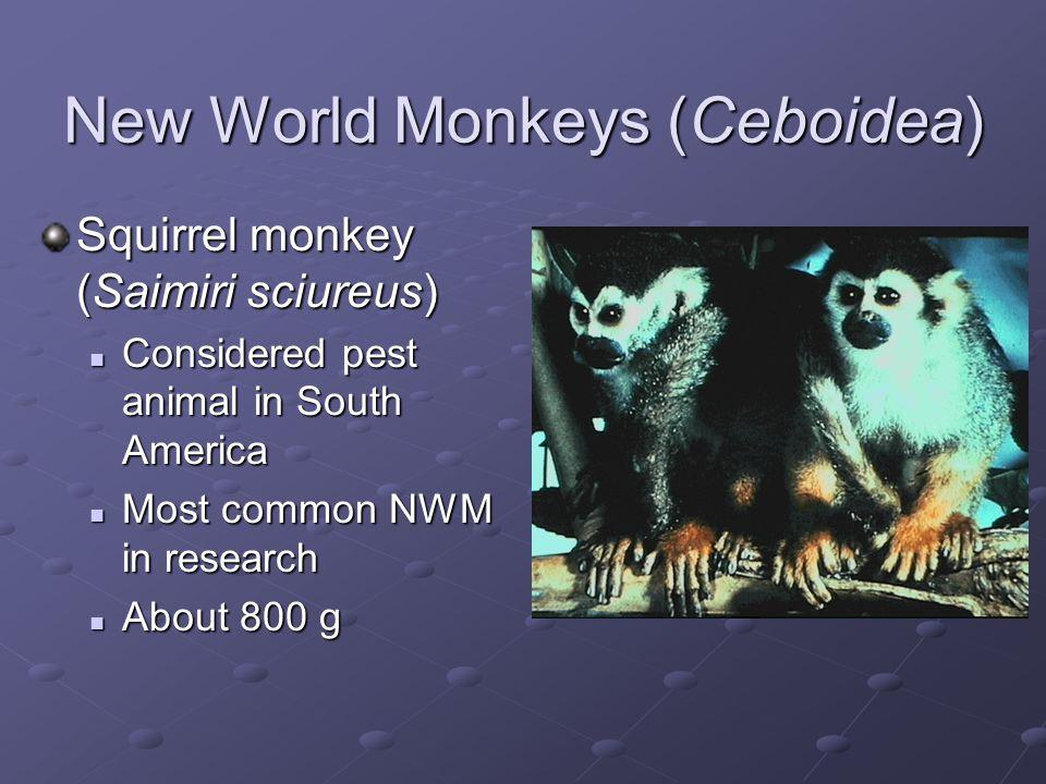 New World Monkeys (Ceboidea)