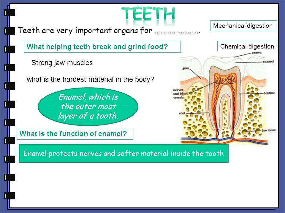 Teeth Teeth are very important organs for …………………….