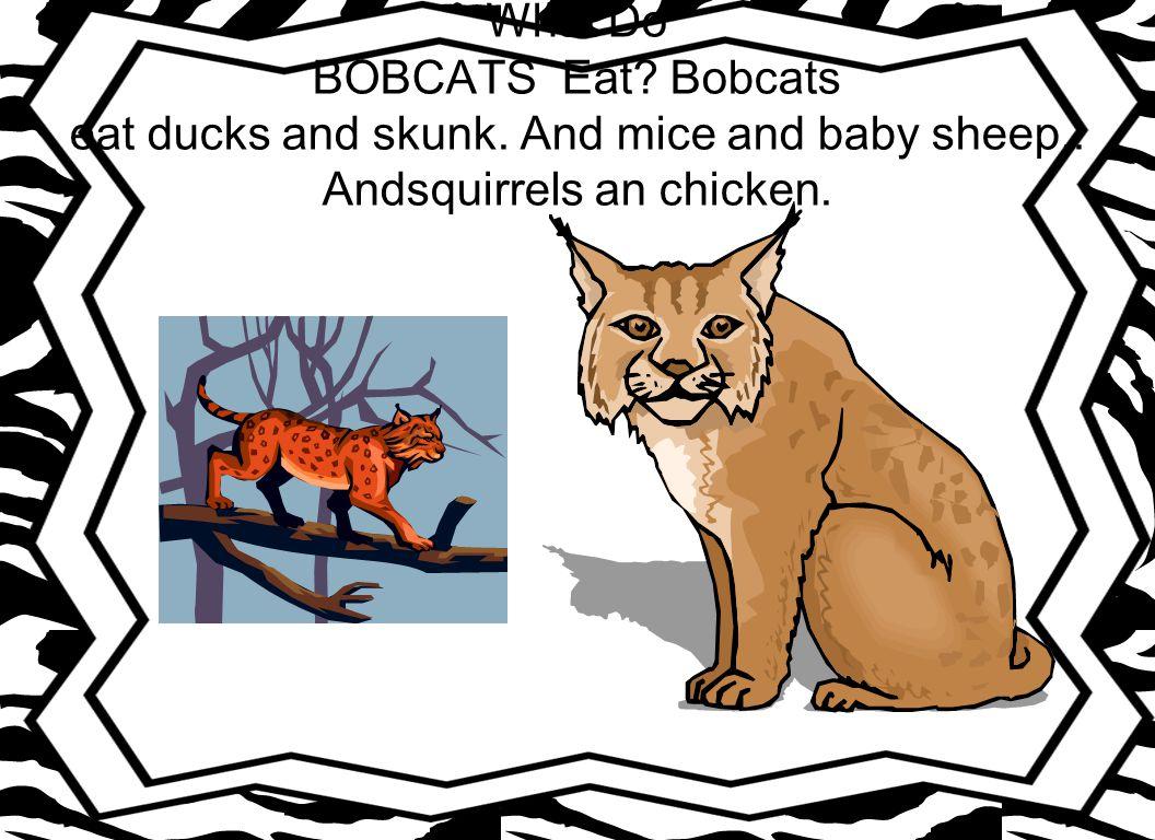 What Do BOBCATS Eat. Bobcats eat ducks and skunk