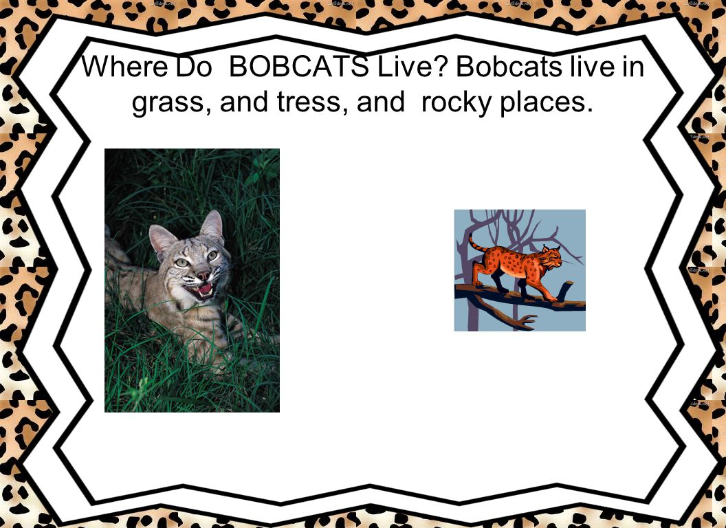 Where Do BOBCATS Live Bobcats live in grass, and tress, and rocky places.