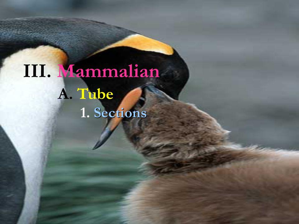 III. Mammalian A. Tube 1. Sections