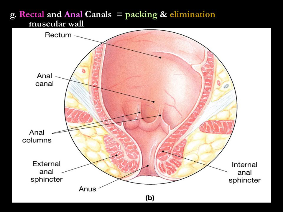 g. Rectal and Anal Canals = packing & elimination