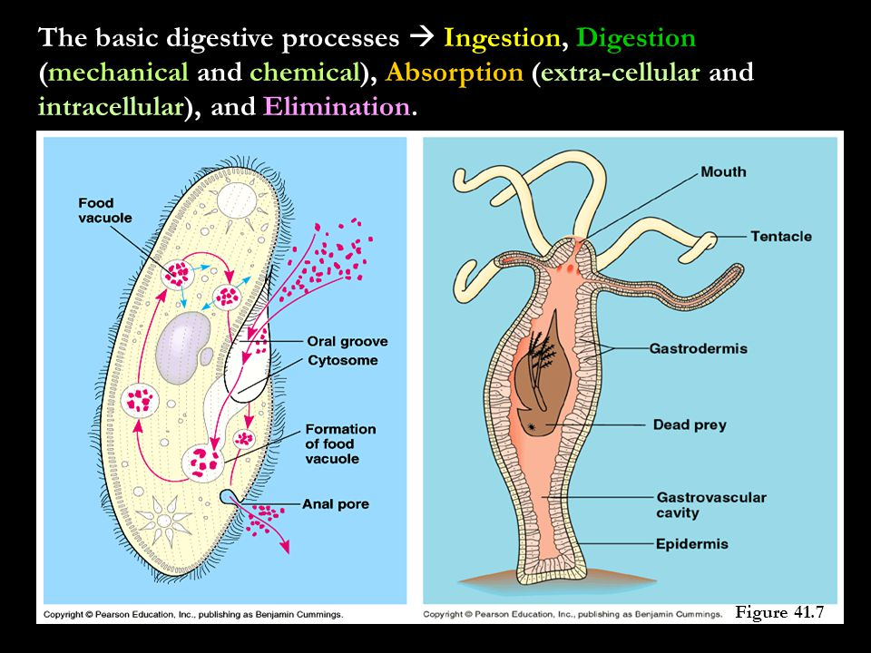 The basic digestive processes  Ingestion, Digestion (mechanical and chemical), Absorption (extra-cellular and intracellular), and Elimination.