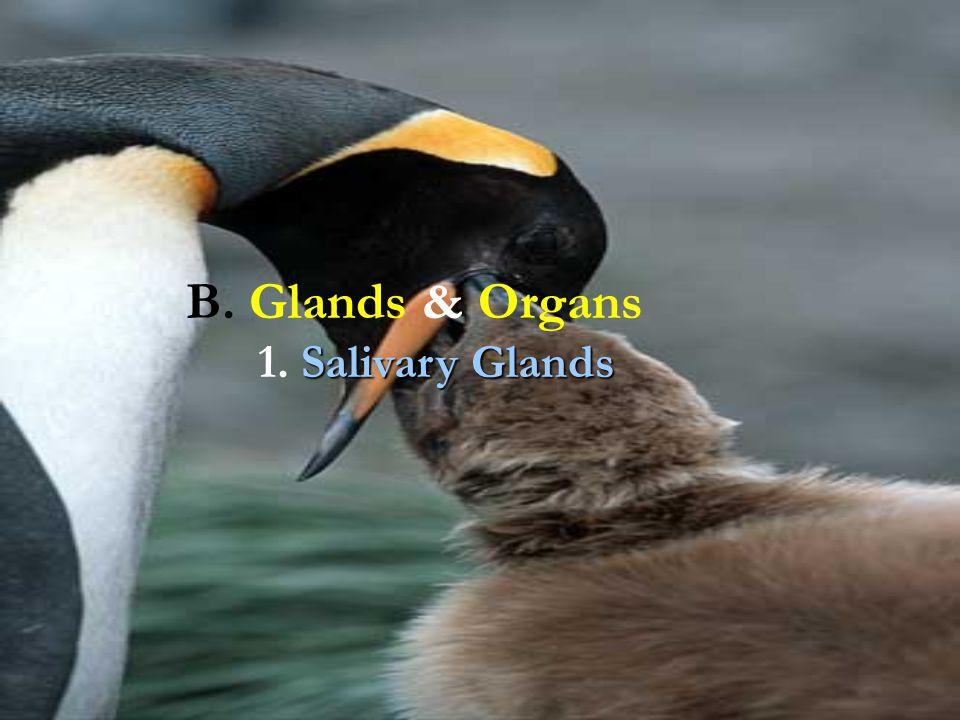 B. Glands & Organs 1. Salivary Glands