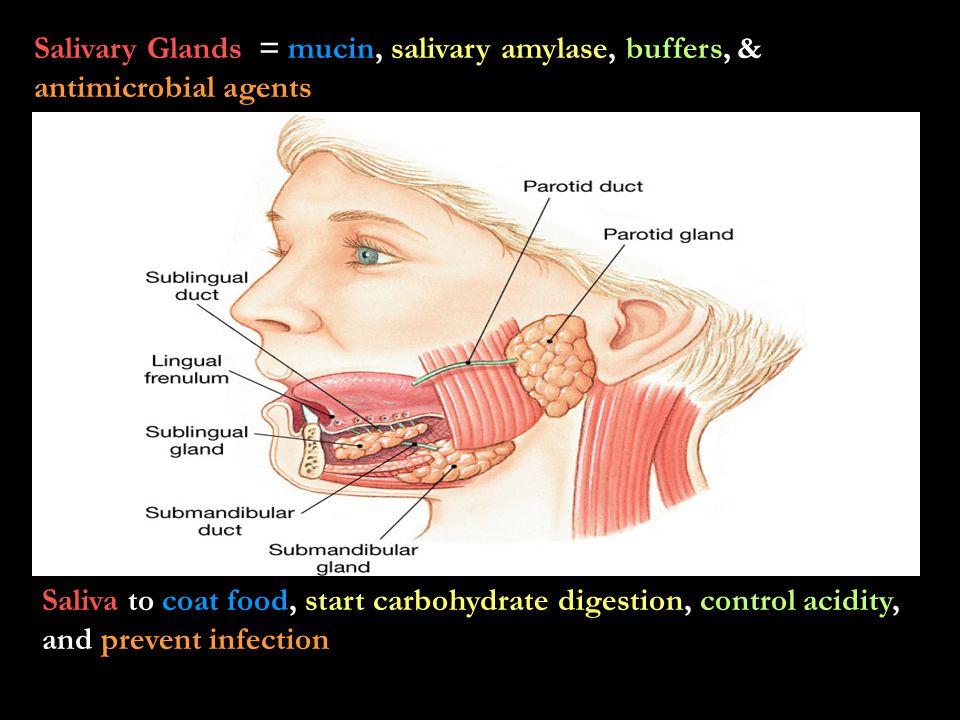Salivary Glands = mucin, salivary amylase, buffers, & antimicrobial agents