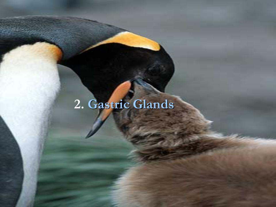 2. Gastric Glands