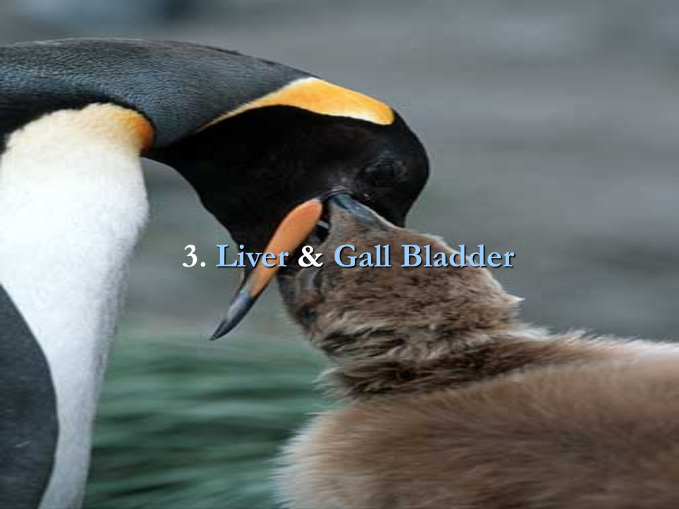 3. Liver & Gall Bladder
