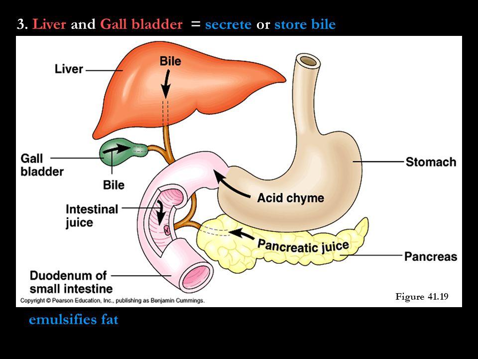 3. Liver and Gall bladder = secrete or store bile