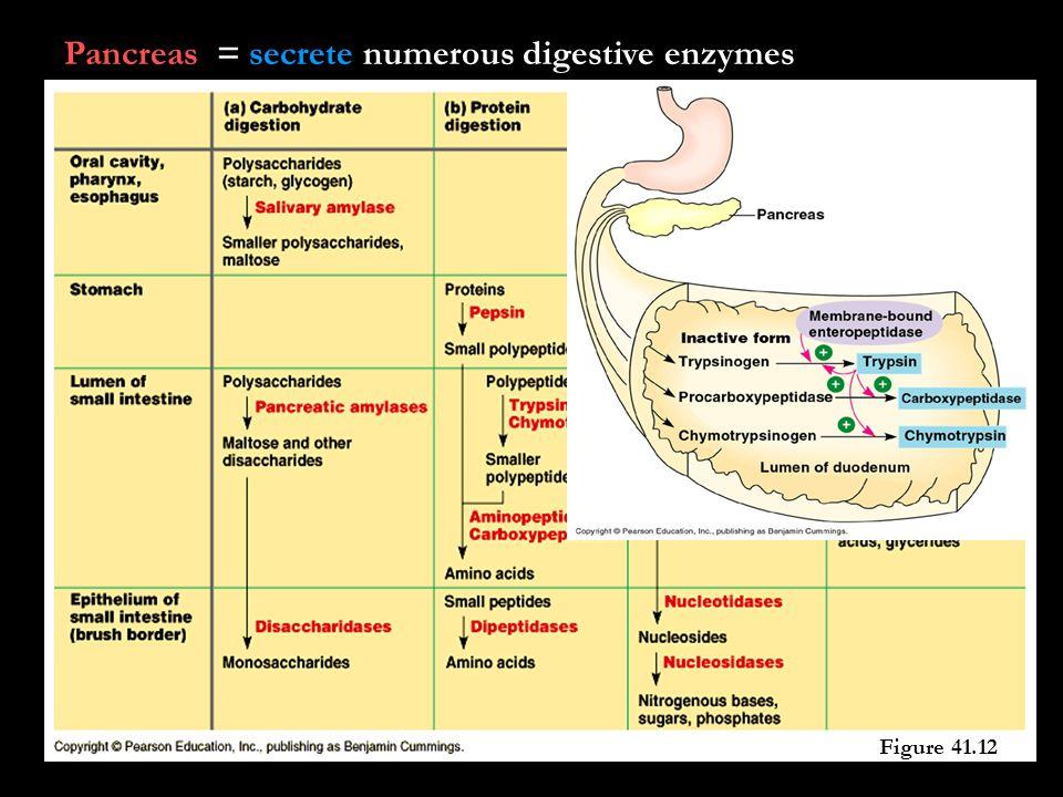 Pancreas = secrete numerous digestive enzymes