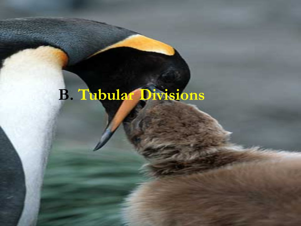 B. Tubular Divisions