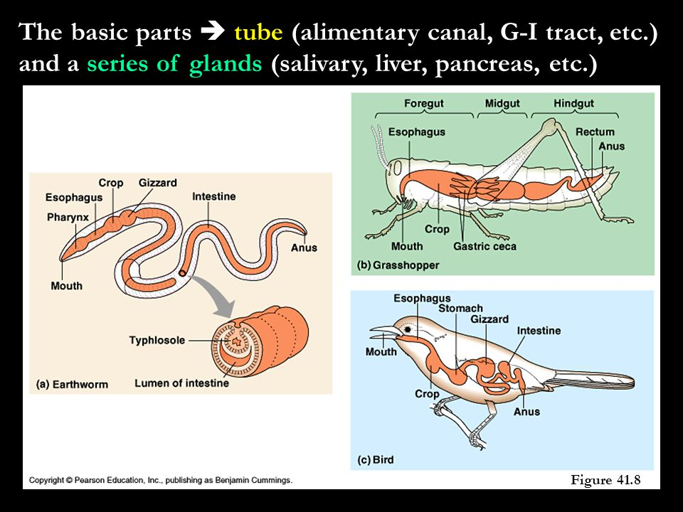 The basic parts  tube (alimentary canal, G-I tract, etc