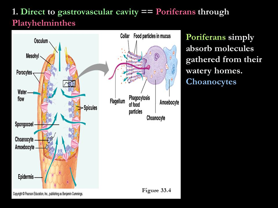 1. Direct to gastrovascular cavity == Poriferans through Platyhelminthes
