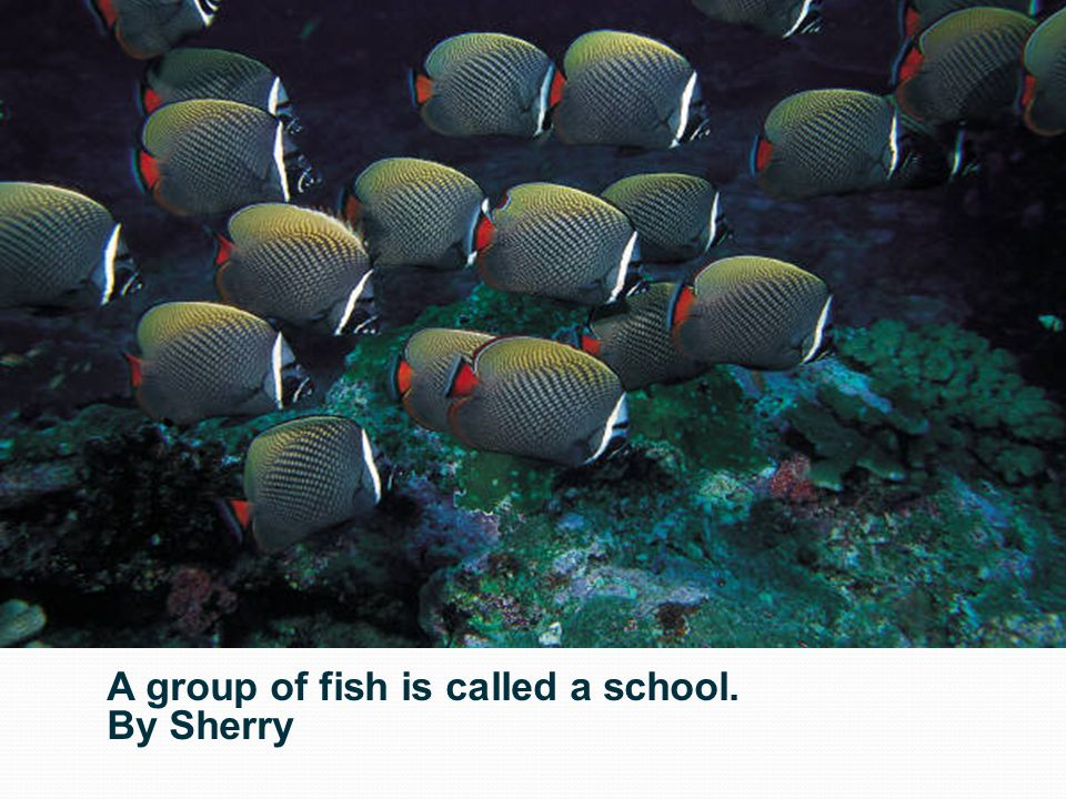 A group of fish is called a school.