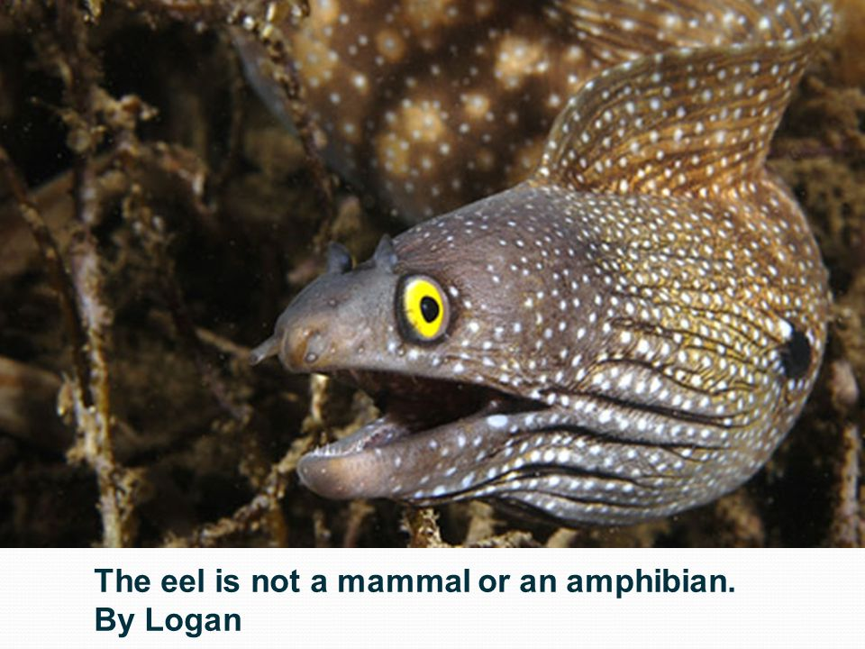 The eel is not a mammal or an amphibian. By Logan