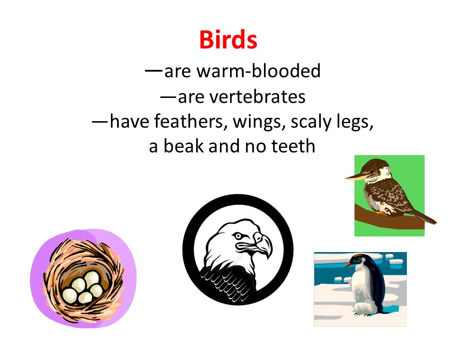 Birds —are warm-blooded —are vertebrates —have feathers, wings, scaly legs, a beak and no teeth