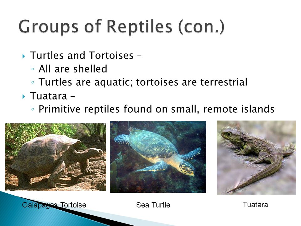 Groups of Reptiles (con.)