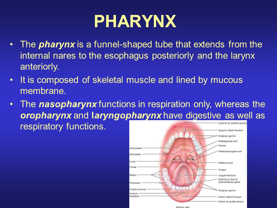 PHARYNX The pharynx is a funnel-shaped tube that extends from the internal nares to the esophagus posteriorly and the larynx anteriorly.