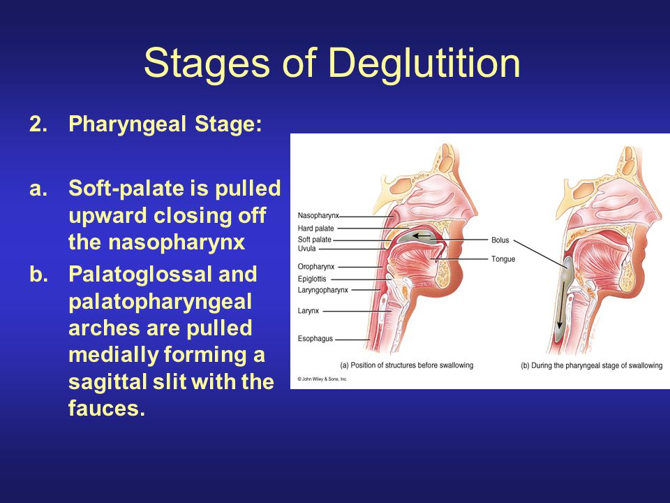 Stages of Deglutition Pharyngeal Stage: