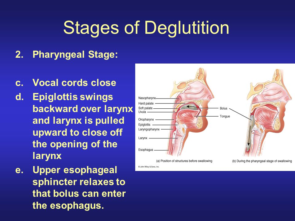 Stages of Deglutition Pharyngeal Stage: Vocal cords close