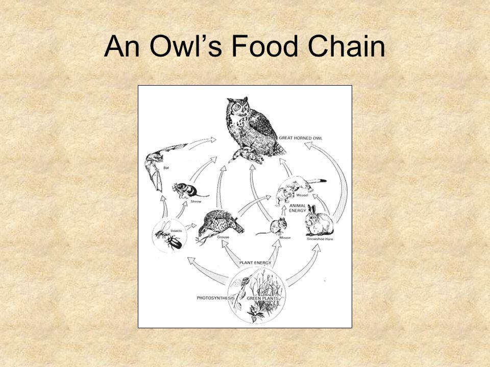 An Owl's Food Chain