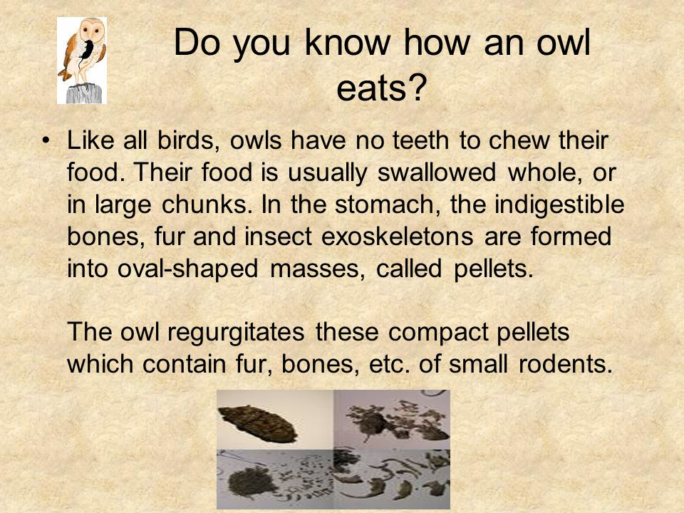 Do you know how an owl eats
