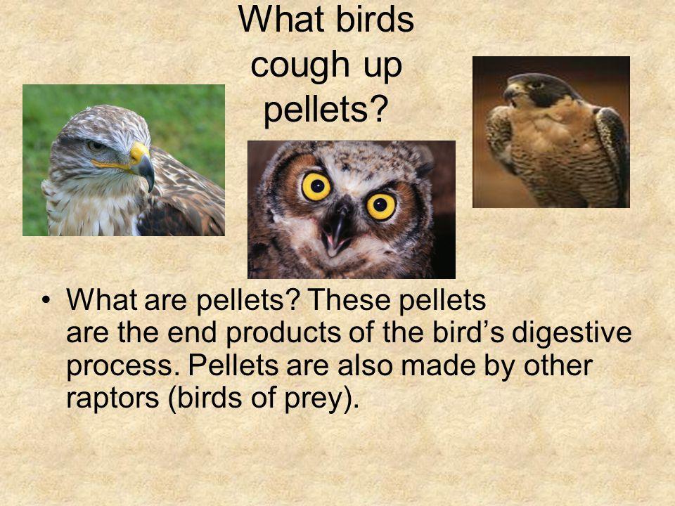What birds cough up pellets