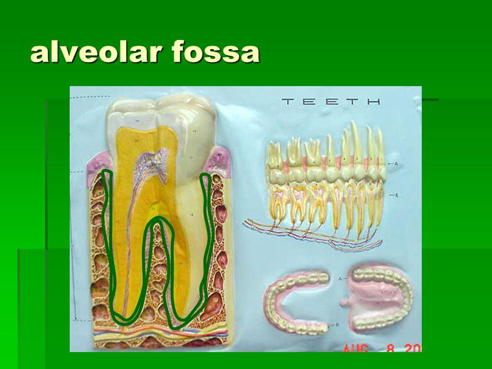alveolar fossa