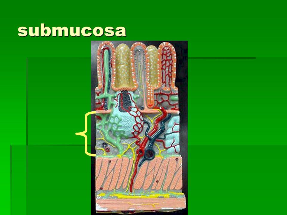 submucosa