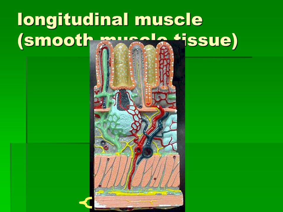 longitudinal muscle (smooth muscle tissue)